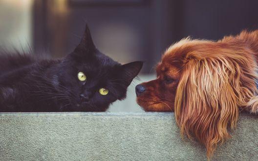 Обои Собака лежит на ступеньке рядом с черным котенком