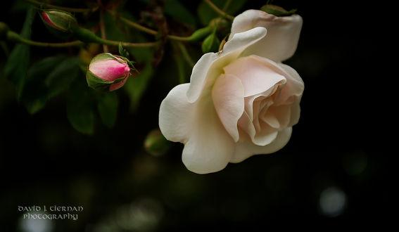 Обои Кремовая роза с бутоном на черном фоне, фотограф David Tiernan