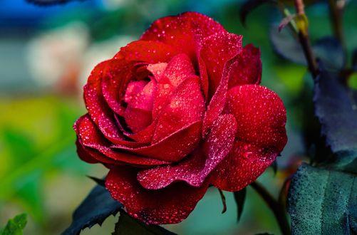 Обои Красная роза в каплях воды на размытом фоне