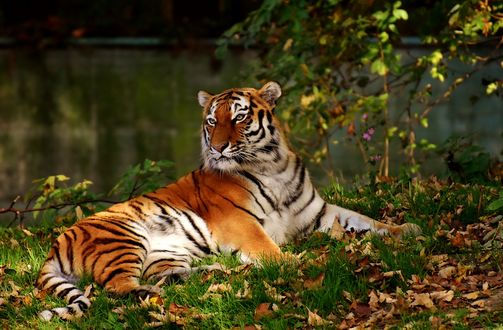Обои Тигр лежит на траве с осенней листвой