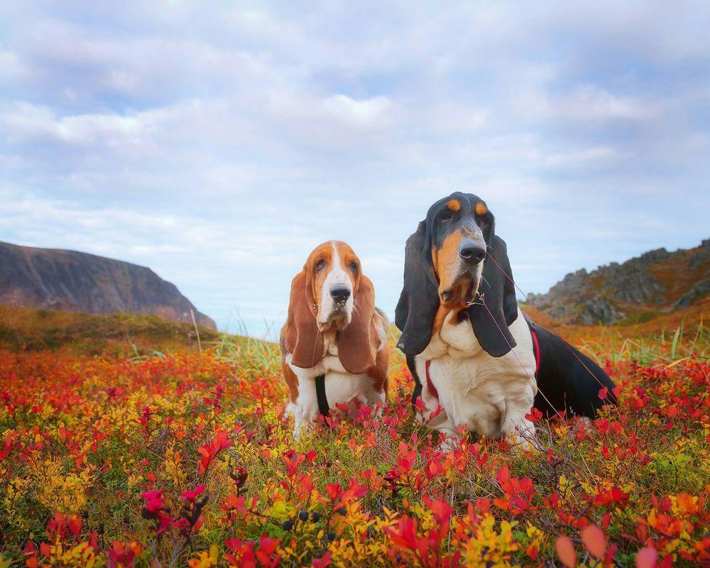 Обои для рабочего стола Две собаки породы бассет хаунд в осенней траве