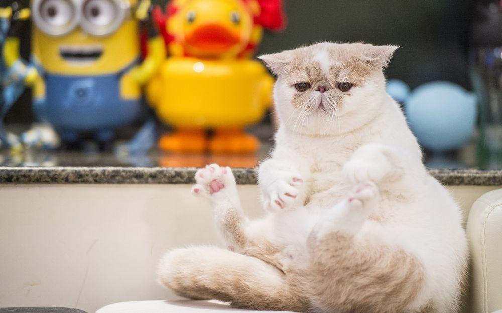 Обои для рабочего стола Экзотическая короткошерстная кошка сидит на диване на фоне игрушек