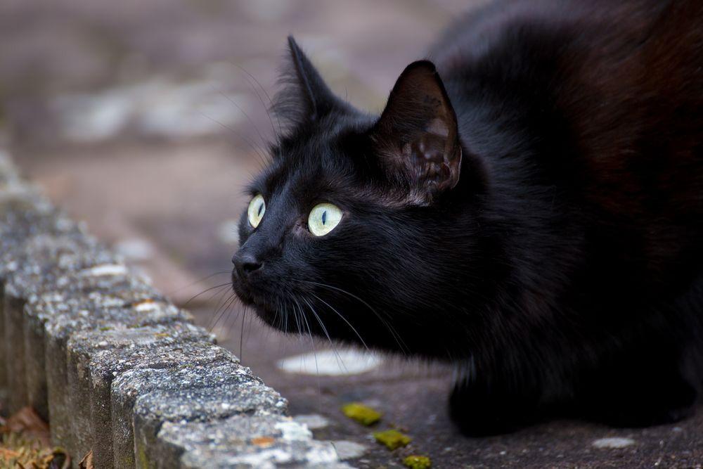 Обои для рабочего стола Черный кот по имени Fips / Фипс смотрит куда-то пристально и настороженно, фотограф Martin Schаfer MS-Bilder