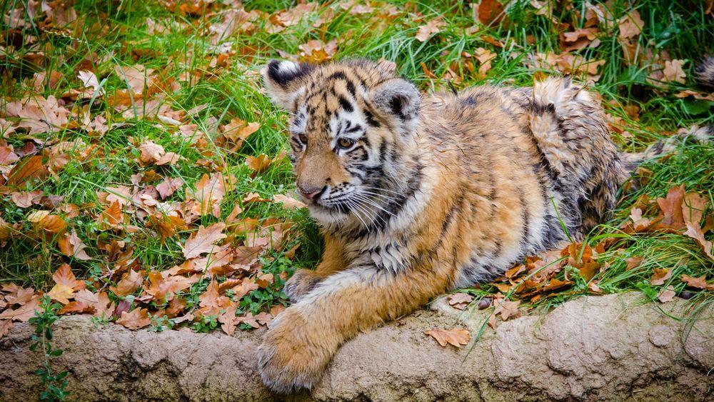 Обои для рабочего стола Амурский тигренок отдыхает в заповеднике