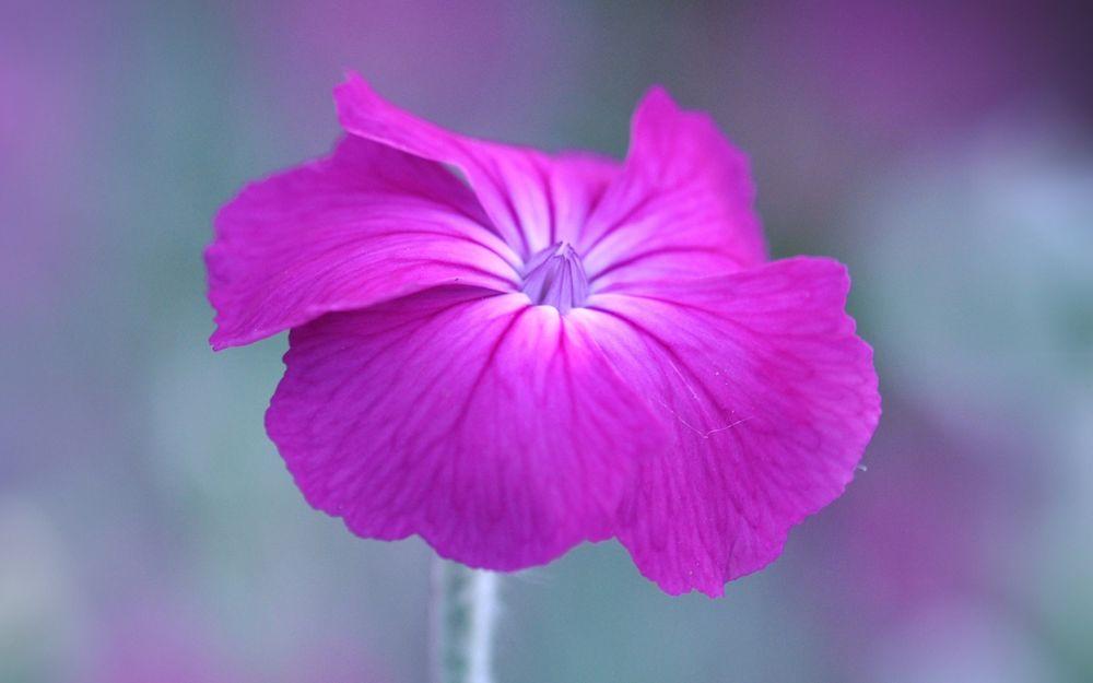 Обои для рабочего стола Розово-сиреневый цветок петунии крупным планом