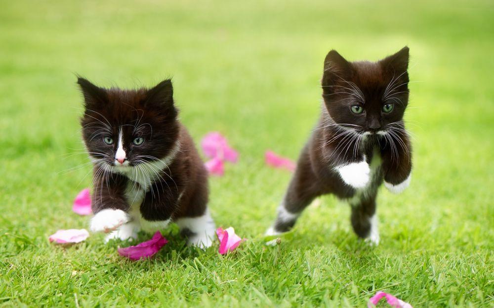Обои для рабочего стола Парочка черно-белых котят играют на траве среди розовых лепестков