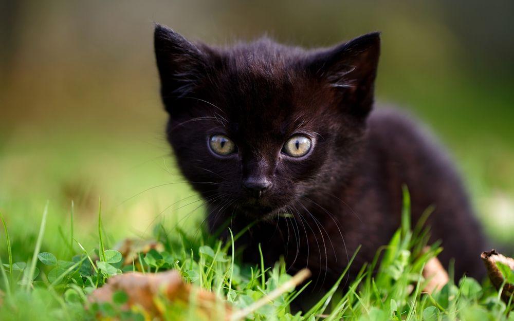 Обои для рабочего стола Черный котенок лежит на зеленой траве среди сухих листьев
