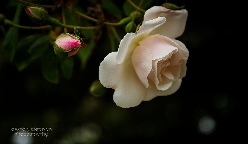 Обои для рабочего стола Кремовая роза с бутоном на черном фоне, фотограф David Tiernan