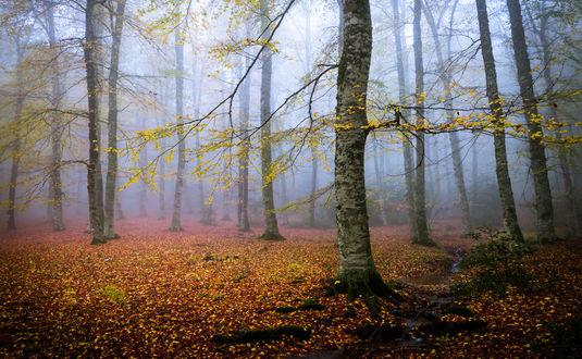 Обои Осенний лес в утреннем тумане, фотограф Michele Vignola