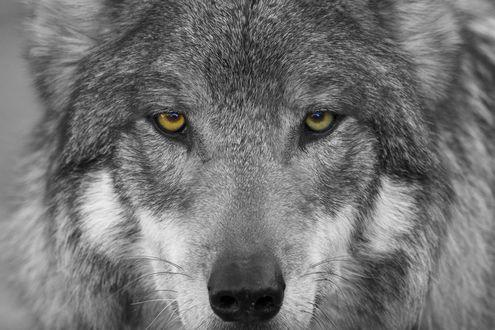 Обои Морда волка, смотрящего в камеру