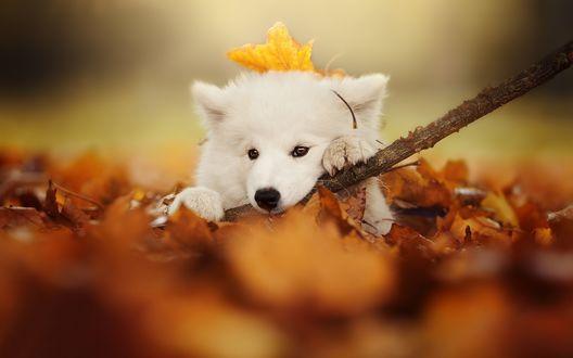 Обои Щенок породы самоедская лайка лежит в осенних листьях и грызет палку