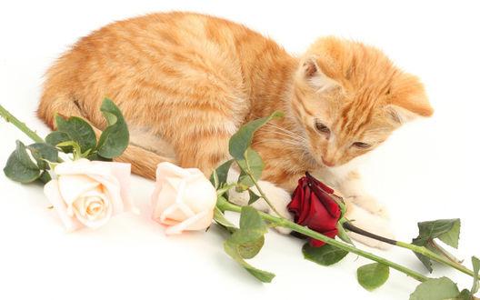 Обои Рыжий котенок лежит рядом с рассыпанными белыми и красными розами