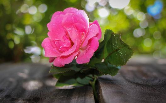 Обои Розовая роза в капельках воды среди досок