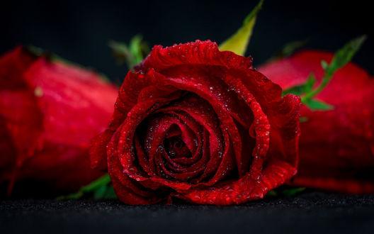 Обои Красно-бордовая роза в капельках воды