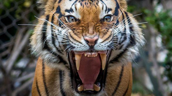 Обои Тигр в ярости