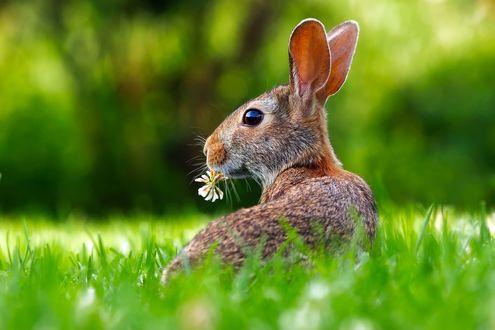 Обои Кролик с цветком во рту на зеленой траве
