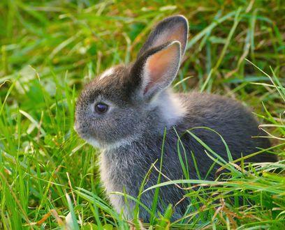 Обои Серый крольчонок в траве