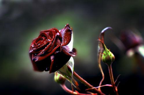 Обои Бордовая роза в каплях воды, фотограф Николай Михайленко