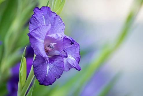 Обои Фиолетовый гладиолус на размытом фоне
