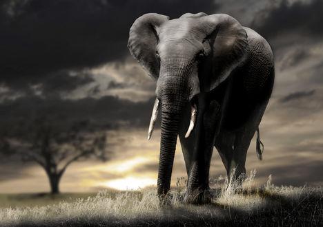 Обои Слон, идущий по вечерней саванне