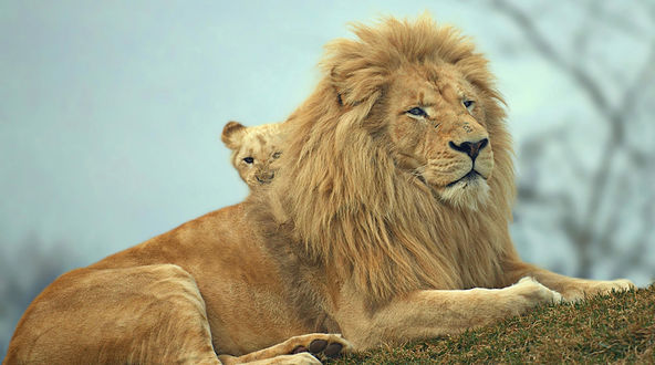 Обои Лев и львенок на природе