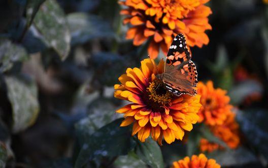 Обои Бабочка сидит на цветке циннии