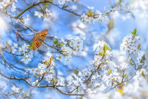 Обои Бабочка на ветке вишни, by crystal dreams