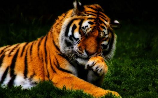 Обои Тигр лежит на траве с закрытыми глазами