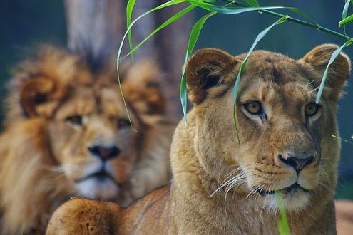 Обои Львица и лев на охоте