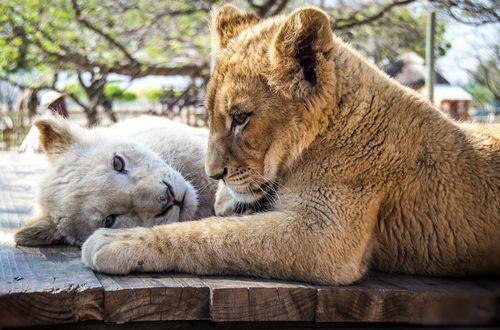 Обои Львицы на деревянном помосте, фотограф Alexey Kimnatny