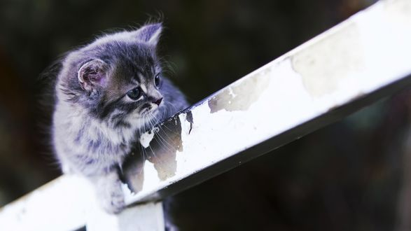Обои Котенок сидит на заборе