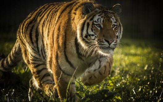 Обои Тигр в заповеднике