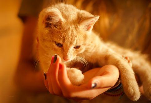 Обои Котенок лежит на женской руке