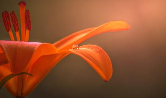 Обои Капля росы на лилии, фотограф Aylin Kalan