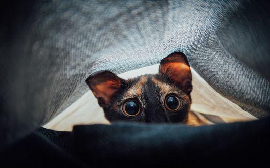 Обои Настороженный сиамский кот таращит глаза из-под одеяла