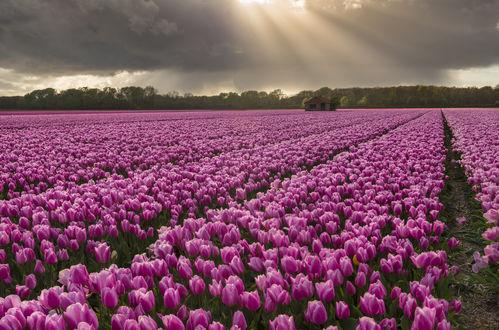 Обои Поле сиреневых тюльпанов под облачным небом, фотограф Andrea Heribanova