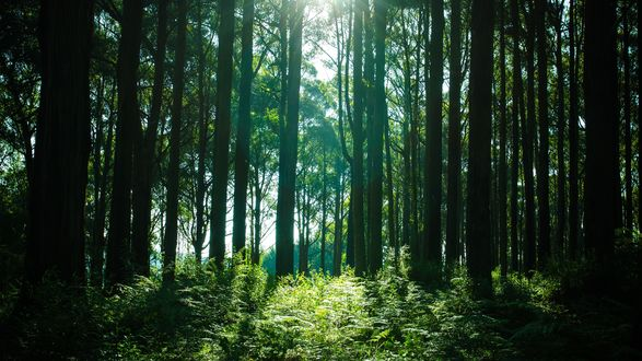 Обои Дневное солнце, пробивающееся через кроны высоких деревьев в лесу