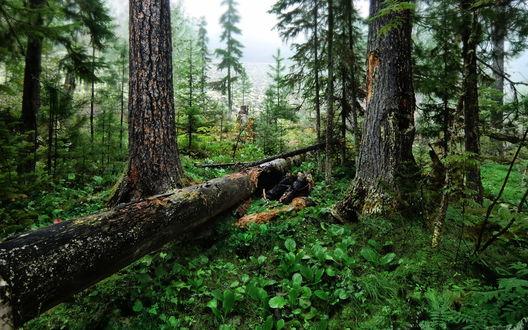 Обои Туманный день в хвойном лесу