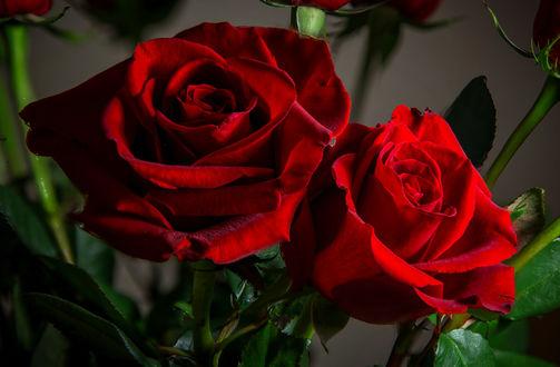 Обои Две красные розы, фотограф Mike Howe
