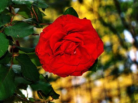 Обои Красная роза на размытом фоне, фотограф Grant Bierman