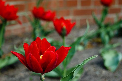 Обои Красные тюльпаны у дома, фотограф Andreas Schаfer