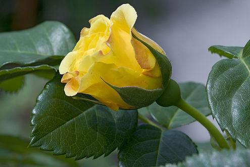 Обои Желтая роза и листочки, фотограф Olena Liubchenko