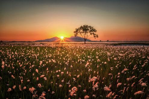 Обои Закат солнца над цветущим полем, фотограф c1113