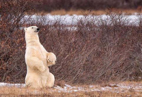 Обои Белый медведь стоит на задних лапах, фотограф SandyK29