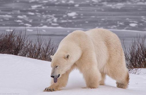 Обои Белый медведь идет по снегу, фотограф SandyK29