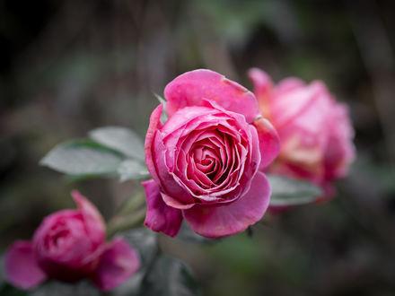 Обои Розовые розы на размытом фоне, фотограф Wolter Geraerdts