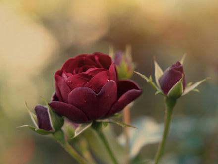 Обои Бордовые розы на фоне боке, фотограф Kito K - fxkito2