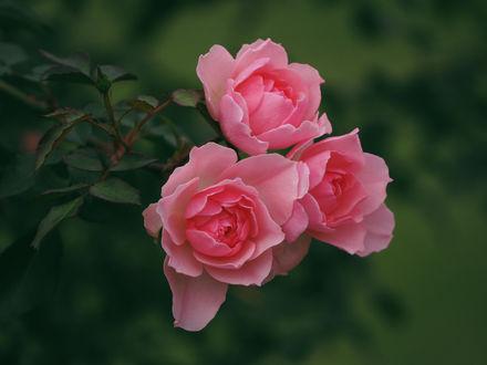 Обои Розовые розы на размытом фоне, фотограф Kito K - fxkito2