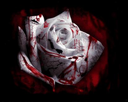 Обои Кровавая белая роза на черно-красном фоне