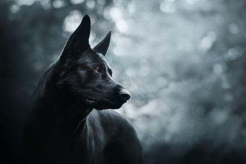 Обои Черный пес на фоне боке